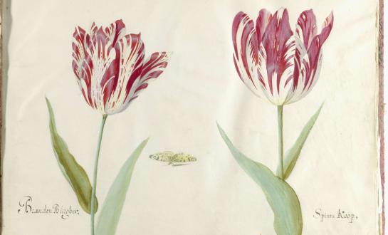 Twee tulpen, Jacob Marrel, 1637